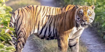 चितवनमा निउरो टिप्न गएकी महिलाको बाघको आक्रमणमा परी मृत्यु