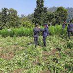 ५० विगाहा क्षेत्रमा लगाइएको अवैध गाँजाखेती चितवन प्रहरीद्धारा नष्ट