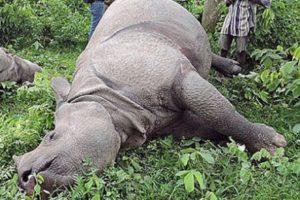 चितवन राष्ट्रिय निकुञ्जमा बृद्ध गैंडा मृत फेला
