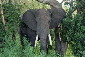 चितवन निकुञ्जमा गैँडा गणकमाथी जंगली हात्तीको आक्रमण : तीनजना घाईते