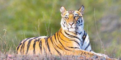 आज विश्व बाघ दिवस: संरक्षणसँगै  मानवीय क्षति चुनौती बन्दै