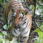 चितवन राष्ट्रिय निकुञ्जमा बाक्लै देखिन थाले बाघ